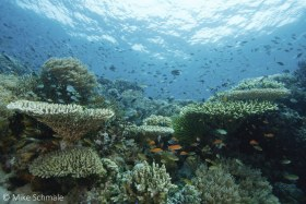 A reef vista in Komodo featuring layers of hard and soft corals surrounded by clouds of damselfish and anthias. © Michael Schmale, All Rights Reserved.