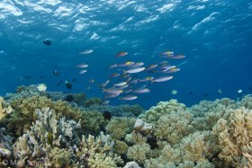 Schools of fusiliers over the reefs at Wakatobi, Indonesia. © Mike Schmale, All Rights Reserved.