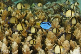 A juvenile palette surgeonfish (Paracanthurus hepatus) hangs out in a school of young reticulated dascyllus damselfish (Dascyllus reticulatus), Wakatobi, Indonesia. © Mike Schmale, All Rights Reserved.