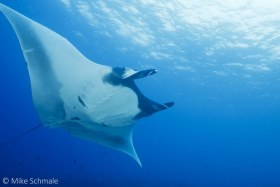 Manta ray soaring overhead near Isabela Island, Galapagos. © Mike Schmale, All Rights Reserved.
