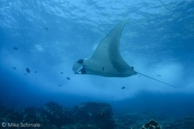 Manta ray swimming alongside at Tortuga Island, Galapagos. © Mike Schmale, All Rights Reserved.