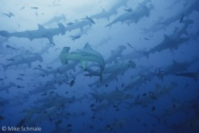 Hundreds of scalloped hammerheads pass over, under and around Darwin's Arch, far northern Galapagos Islands. © Mike Schmale, All Rights Reserved.