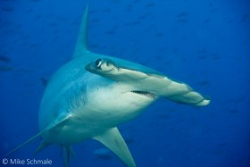 Scalloped hammerhead comes in for a (very) close look, Darwin Island Galapagos. © Mike Schmale, All Rights Reserved.