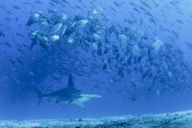 Scalloped hammerhead swimming under a school of jacks, Galapagos Islands. © Mike Schmale, All Rights Reserved.