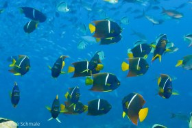 A school of king angelfish (Holacanthus passer) near Cape Marshall, Galapagos. © Mike Schmale, All Rights Reserved.