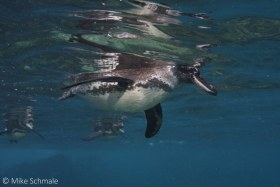 Galapagos penguins passing by near Floreana Island, Galapagos. © Mike Schmale, All Rights Reserved.