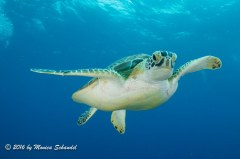 Friendly Turtle - This friendly turtle in St. Maarten loves divers.