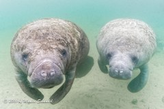 Manatees - Crystal River is a haven for manatees and winter is a great time to go.