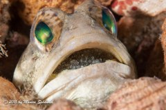 Proud Papa - These jawfish eggs are almost ready to release as you can see they eyes on the little one. This is one proud papa.