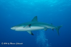 Shark - This reef shark swam with our dive group the entire dive, passing under the bubbles often as if they might be giving him a massage.