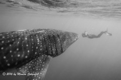 The photographer and his subject - Shot in Isla Mujeres, this image captures both the size of the animal in relation to the diver and the focus of the photographer on his subject