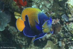 The Blue-girdled angelfish (Pomacanthus navarchus) inhabits only healthy reefs with rich coral growth. W. Papua, Indonesia. © Patrice Marker, All Rights Reserved.