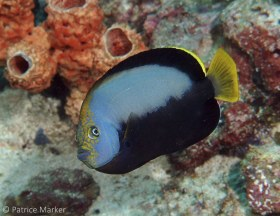 The Pewter angelfish (Chaetodontoplus dimidiatus) is a challenge to photograph due to its wary nature and relatively deep current-prone habitat. W. Papua, Indonesia. © Patrice Marker, All Rights Reserved.