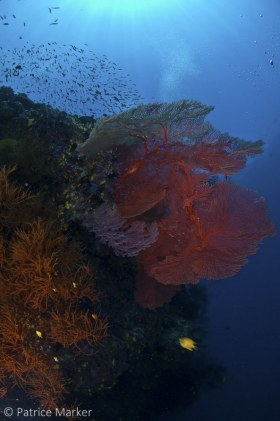 Large sea fans and black corals are common on Fiji's pristine vertical reef faces. © Patrice Marker, All Rights Reserved.