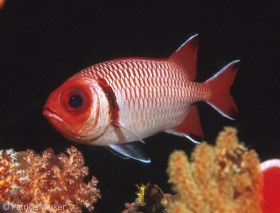 Splendid Soldierfish: Myripristis botche. Indonesia, Nikon N90, 28-105 mm zoom lens. © Patrice Marker, All Rights Reserved.
