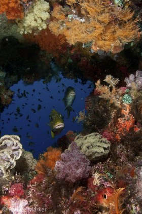 A pair of Ribbon Sweetlips: Plectorhinchus polytaenia hover in a window in the reef. Misool area, Raja Ampat, Papua Barat, Indonesia. 18 - 70 MM zoom lens. © Patrice Marker, All Rights Reserved.
