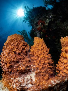 Young barrel sponges in Little Cayman