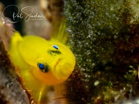 Yellow Goby, taken in Anilao, Philippines at Anilao Photo Academy in May 2018
