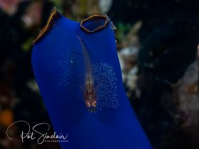 Goby guarding eggs on a Tunicate.  Taken in Anilao, Philippines