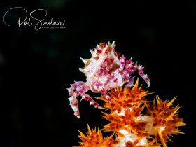 Soft Coral Crab Taken in Anilao, Philippines in December 2016