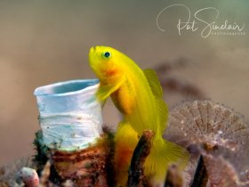 Yellow Goby.  Taken in Anilao, Philippines
