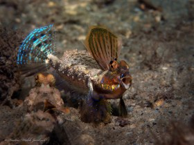Lancer Dragonet, male territorial display, Blue Heron Bridge, Riviera Beach, FL