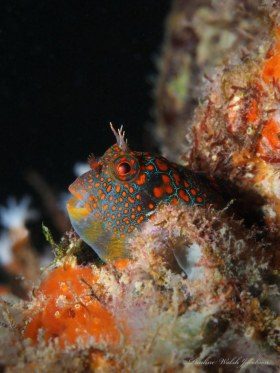 Tessellated Blenny, Lauderdale-By-The-Sea, FL