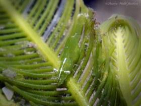 Unarmed Cryptic Shrimp on Caulerpa (Feather) Algae, Blue Heron Bridge, Riviera Beach, FL