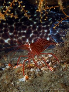 Peppermit Shrimp and Spotted Moray Eel, Blue Heron Bridge, Riviera Beach, FL