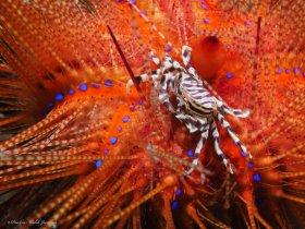Zebra Urchin Crab on Fire Urchin, Lembeh, Indonesia