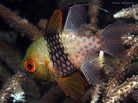 Pajama Cardinalfish, Lembeh, Indonesia