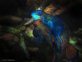 Mating Mandarinfish,  Lembeh, Indonesia