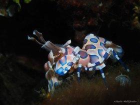 Harlequin Shrimp,  Lembeh, Indonesia