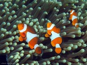 False Clownfish, Lembeh, Indonesia