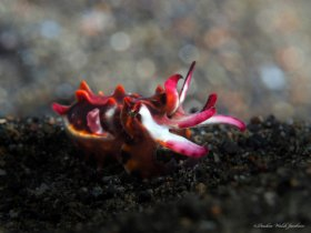 Juvenile Flamboyant Cuttlefish,  Lembeh, Indonesia
