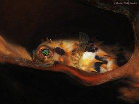 Orbicular Burrfish,  Lembeh, Indonesia