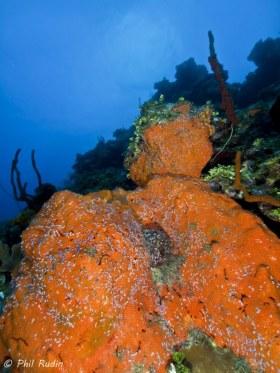 Encrusting Sponge Reef Scene, Grand Cayman. © Phil Rudin, All Rights Reserved.