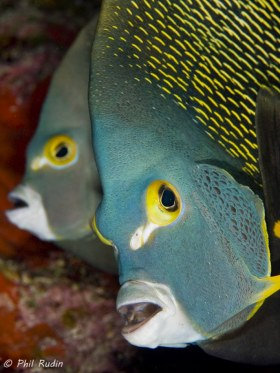 French Angelfish, Grand Cayman. © Phil Rudin, All Rights Reserved.