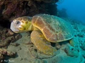 Loggerhead Turtle, Boynton Beach, Florida. © Phil Rudin, All Rights Reserved.