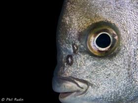 Atlantic Spadefish, Boynton Beach, Florida. © Phil Rudin, All Rights Reserved.