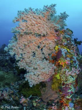 Soft Coral Tree, Olympus E-M1, Nauticam NA-EM1 housing, Panasonic 8 mm Fisheye, ISO-250, F/5.6, 1/100th, two Inon Z-240 strobes. © Phil Rudin, All Rights Reserved.