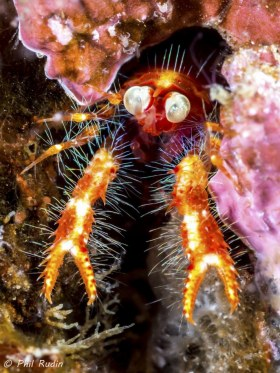 Bug-eyed Squat Lobster, Olympus E-M5, Nauticam NA-EM5 housing, Olympus 60mm macro, ISO-200, F/10, 1/250th, two Inon Z-240 strobes. © Phil Rudin, All Rights Reserved.