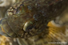 Hairy Blenny Eyebrows. © Philip Burghard. All Rights Reserved.
