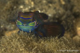 Mandarin Goby. © Philip Burghard. All Rights Reserved.
