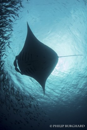 Manta Ray. © Philip Burghard. All Rights Reserved.