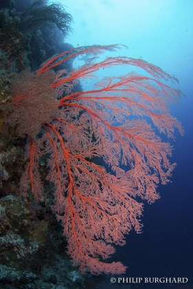 Palau Sea Fan. © Philip Burghard. All Rights Reserved.