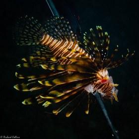 Speared Lionfish – Boca Raton, Florida