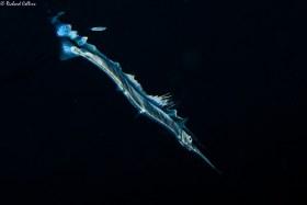 Flat Needlefish - Palm Beach, Florida