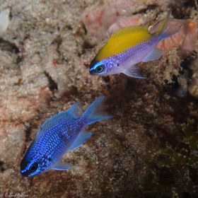 Purple Reeffish & Sunshinefish - Boca Raton, Florida