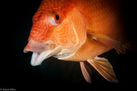 Happy Hogfish - Boca Raton, Florida